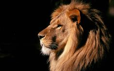 Lion Roar Wallpaper Mobile with High Definition Resolution 1920x1200 px 295.35 KB