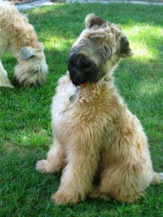 Wheaten Terrier Puppy, Terrier Dog Breeds, Lancashire Heeler, Large Dog Coats, Animals And Pets, Cute Animals, Irish Terrier, Goldendoodles, Dog Jacket