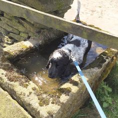 Just sitting in this trough #cockerspaniel