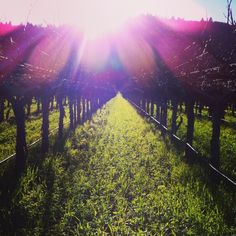 Winter Sunset in Rutherford at Staglin Family Vineyard