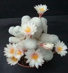 Cacto Mammillaria Herrerae