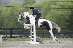 jumping a gypsy vanner