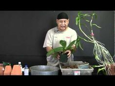 ▶ Repotting a Phalaenopsis - YouTube - funny guy so pumped on left hand, but he does teach us about roots like tree lady did also. Sqwishy roots=cut off with steral tools...firm roots tuck into new pot!