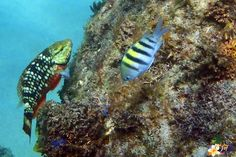 Poisson Perroquet et Sergent Major - Rocher d'Anses d'Arlet (Bourg) #Martinique #snorkeling #PMT © AliZéMédia