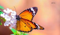 Butterfly by Aruna Devi P V, via 500px