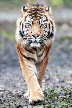 Beautiful wildlife: Stalking Tiger.