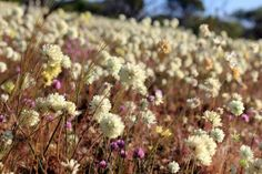 Western Australian wildflowers by Amanda Paul