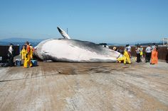The whaling nations of Iceland and Japan are using Canada as a trans-shipment destination in the trade of meat from endangered fin whales — the same species that Canada has agreed internationally to protect. Canada says it is helpless to stop the trade. Endangered Species, Fin Whale, Sea Shepherd, Enabling, Canada, Blind, Meat, Turning, Fishing