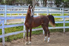 A beautiful young Saddlebred horse. Undulata's High Def ERB