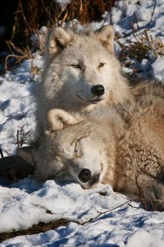 Arctic wolves (Canis lupus arctos) by Michael Cummings