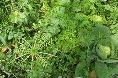 Cabbage, Vegetables, Garden, Compost, Garten, Lawn And Garden, Cabbages, Vegetable Recipes, Gardens