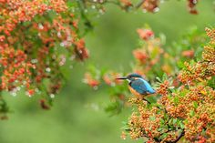 On Jewels , Kingfisher in Autumn Tint after the Rain by Mubi.A