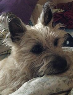 Colby the Cairn Terrier