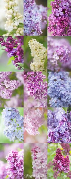 LOVE Lilacs! A Variety of Lilacs. Since I grew up in the Lilac City of Spokane WA this is a fitting pin...thanks for sharing! There is not a more lovely bush and so fragrant. They make beautiful bouquets too.