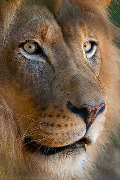 Lion Portrait 1083 by robbobert Beautiful Lion, Animals Beautiful, Lion Pictures, Animal Pictures, Lion Tigre, Animals And Pets, Cute Animals, Lion Photography, Lion Cat
