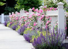 Traditional Landscape by dabah landscape designs. Salvia Midnight plus Russian Sage