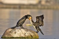 Mother Nature - Cormorant Feeding its chick, BiodiverCity - The Hindu Shutterbug