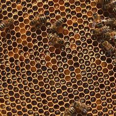 Part of a frame from one of our hives today - wonderful geometry with stores of pollen and dark honey. #honeybees