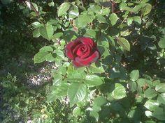 rose di velluto