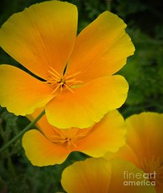 California Poppy Photograph