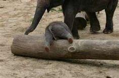 Baby elephant climbing over a log.  awww