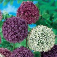 Giant Allium Mixture 50 Bulbs $27