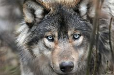 silver wolf with blue eyes - Google Search
