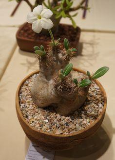 https://flic.kr/p/LxZV1m | Pachypodium eburneum CSSA 2012.JPG