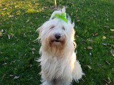 Holly, the Tibetan terrier