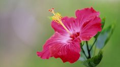 Hibiscus Flower Seeds,DIY Home Garden potted or yard flower seeds,easy to grow for home garden Flower Images Wallpapers, Hd Flower Wallpaper, Beautiful Flowers Wallpapers, Hd Wallpaper, Pretty Wallpapers, Wallpaper Ideas, Desktop Wallpapers, Hd Flowers, Exotic Flowers