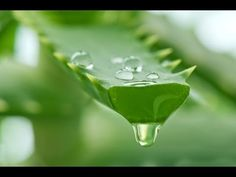 Aloe Vera Gel Extraction- how to get the gel out of the plant. Very clean and easy!