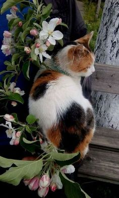 Beautiful calico cat in this photograph, it almost looks like a painting. Cats are such lovely animals. I Love Cats, Crazy Cats, Cute Cats, Funny Cats, Adorable Kittens, Gato Calico, Calico Cats, Pretty Cats, Beautiful Cats