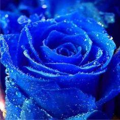 Exotic iris | Semillas De Rosas Exoticas Arcoiris, Negras, Verdes Etc.mdn!