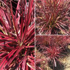 Fountain Grass - Pennisetum setaceum 'Fireworks'.   An easy to care for ornamental grass with spectacular color. What a statement maker in the garden. It also produces purplish flower stalks in the summer(does not reseed). Dwarf type to only 3 ft tall. Water wise.     #evergreennursery #ornamentalgrasses #pennisetumsetaceum #pennisetumfireworks #colorfulgrasses #colorfulplants