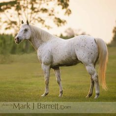 8090.jpg :: Leopard palomino colored Appaloosa stallion stands in open pasture.