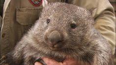 ウォンバットだよ Quokka, Wombat, Cute Animals, Creatures, Bear, Australia, Birds, Amazing, Nature