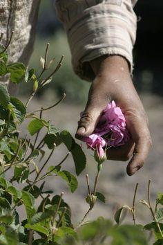 Campo de Rosas de prueba para la agricultura biodinámica en Mehdi Abad, Irán. Los campos integrados en la empresa iraní Zahra Rosewater Sociedad que, con el apoyo de WALA (del Dr. Hauschka), que está trabajando biodinámica.