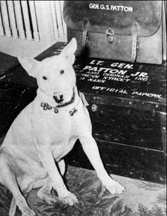 General Patton was a bad-ass, so naturally, he had a bad-ass dog. He was a Bull Terrier, he was named after William the Conqueror, and he fo. Dog Pictures, Dog Photos, White Bull Terrier, Famous Dogs, Military Dogs, War Dogs, English Bull Terriers, Dog Suit, Service Dogs