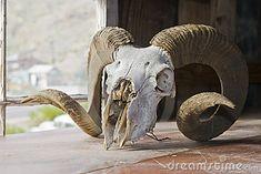 big-horn-sheep-skull-10072722.jpg (400×267)