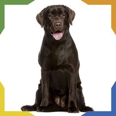 Labrador retriever, 7 months old, sitting in front of white background Golden Retriever Labrador, Brown Labrador, Golden Retrievers, Chocolate Lab Puppies, Goofy Dog, 7 Month Olds, Mountain Dogs, Australian Shepherd, I Love Dogs
