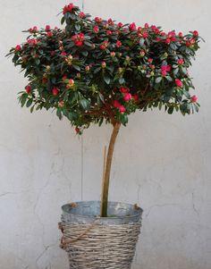 Azalea en árbol #azalea #plantas #moonflowerartefloral