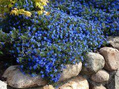 SPRING CREEPER  Scheinsteinsame 'Heavenly Blue' - Lithodora diffusa 'Heavenly Blue'