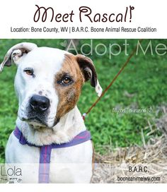 Rascal: Adoptable Dog of the Week on Lolathepitty.com -  Located in West Virginia!