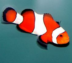 "Ocellaris Clownfish 1.5"" (Amphiprion ocellaris)Tank Bred Live Saltwater Fish"