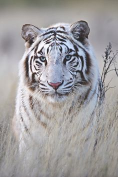 A white tiger cub was discovered in the last century and was back bred with his daughter to capture the double recessive gene. All white tigers we see today come from that original pairing. This has produced health problems so serious that India has put a moratorium on their breeding.