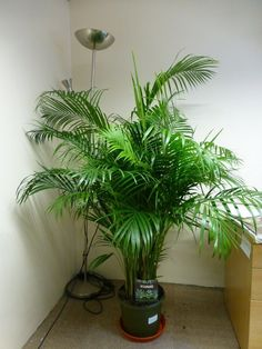 Easy to keep real indoor plant for the house or office - tall live Areca Palm Chrysalidocarpus Lutescens potted plant in a green pot, also known as a butterfly palm, with bushy lush green foliage. Indoor Palm Trees, Indoor Palms, Best Indoor Plants, Indoor Garden, Urban Garden Design, Orchid Flower Arrangements, Growing Plants Indoors, Bathroom Plants, Home Organization