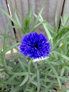 First Corn flower this year