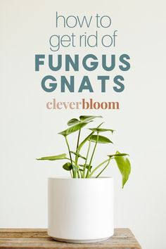 Do you have pesky little flies surrounding your houseplants? You probably have fungus gnats. Not to worry! I'll teach you step by step how to Get Rid Of Fungus Gnats plus a list of my favorite products to use. #fungusgnats #plantcare #houseplants