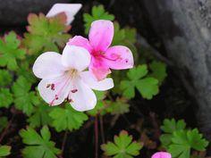 En låg art av nävor är Geranium dalmaticum 'Bridal bouquet', dvärgnäva. Den växer kuddformigt till en början - men brer så småningom ut sig i en tät matta. På sommaren bär blek-rosa och vita blommor och blir bara 10 cm hög. Väldigt lätt att föröka genom delning. Trivs också soligt - men är inte så kinkig för övrigt. Bra i torra, soliga lägen, kan i lite lätt skugga även bli vackert mattbildande. Röd höstfärg på bladverket.