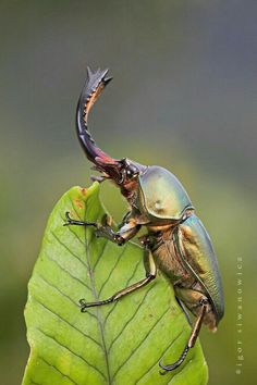 Papuan stag beetle, photo by Igor Siwanowicz Cool Insects, Bugs And Insects, Nature Animals, Animals And Pets, Cute Animals, Beetle Insect, Rhino Beetle, Cool Bugs, Beautiful Bugs
